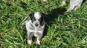 Blue Heeler Pups
