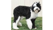 Female Standard Black Poodle to Breed with My Old English Sheepdog